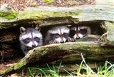 Three Young Raccoons In A Hollow Log Art Print