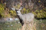 A Mule Deer Buck At National Bison Range, Montana Art Print
