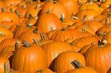 Pumpkins in Concord, New Hampshire Art Print