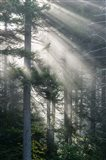 Sun Rays Shining Through Foggy Pine Trees Art Print