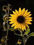 Backlit Sunflower, Santa Fe, New Mexico Art Print