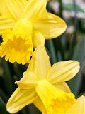 Daffodil Bundle, New York City Art Print