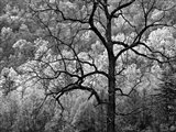 Tree Caught In Dawn's Early Light, North Carolina (BW) Art Print