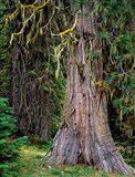Incense Cedar Tree, Oregon Art Print