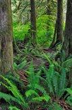 Scenic Forest, Oregon Art Print