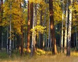 Aspen And Ponderosa Trees In Autumn, Deschutes National Forest Art Print
