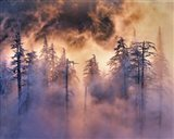 Evergreens In Fog, Mt Hood National Forest, Oregon Art Print