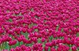 Field Of Purple Tulips In Spring, Willamette Valley, Oregon Art Print