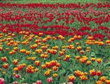 Field Of Colorful Tulips In Spring, Willamette Valley, Oregon Art Print