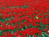 Lone Yellow Tulip Among Field Of Red Tulips, Oregon Art Print