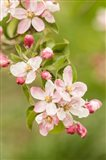 Hood River, Oregon, Close-Up Of Apple Blossoms Art Print
