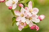 Hood River, Oregon, Apple Blossoms In The Nearby Fruit Loop Area Art Print