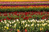 Tulip Field In Bloom Art Print