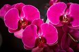 Purple Hybrid Orchids On Black Art Print