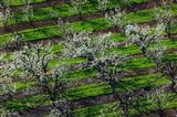 Rows Of Orchard Trees, Oregon Art Print