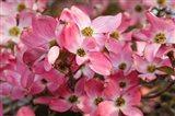 Pink Flowering Dogwood Art Print