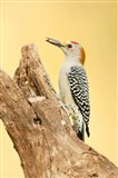 Golden-Fronted Woodpecker Eating A Seed, Linn, Texas Art Print