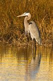 Great Blue Heron standing in Salt Marsh Art Print
