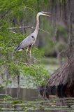 Great Blue Heron bird, Caddo Lake, Texas Art Print
