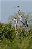 Great Blue Heron, pair in habitat, Texas Art Print
