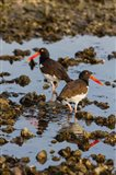 American Oystercatcher Pair On An Oyster Reef Art Print