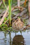 Common Snipe Adult Feeding In Marsh Art Print