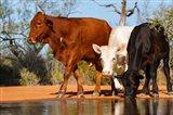 Cattle Drinking Art Print