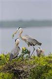 Great Blue Heron and Chicks Art Print