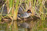 Green-Winged Teal Resting In Cattails Art Print