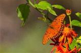 Gulf Fritillary Butterfly On Flowers Art Print