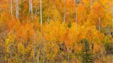Autumn Forest Landscape Of The Manti-La Sal National Forest, Utah Art Print