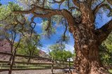 Old Cottonwood Tree And Fence Art Print