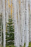 Conifer Tree In An Aspen Forest Art Print