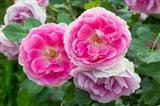 Close-Up Of Pink Roses, Utah Art Print
