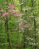 Eastern Redbud and Flowering Dogwood, Arlington County, Virginia Art Print