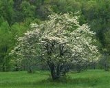 Flowering Dogwood, Blue Ridge Parkway, Virginia Art Print