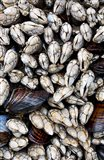 Gooseneck Barnacles And Clams Art Print