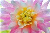 Close-Up Of A Pastel Dahlia Flower Art Print