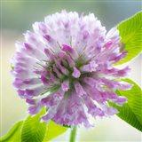 Clover Blossom Flowers Art Print