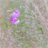 Sweet Pea Blossoms In A Meadow Art Print