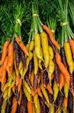 Display Of Carrot Varieties Art Print