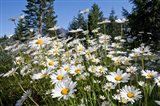 Scenic View Of Oxeye Daisies Art Print