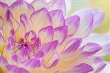 Dahlia Flower Close-Up Art Print