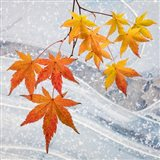 Japanese Maple Leaves Above Ice Art Print