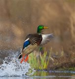 Mallard Duck Takes Flight Off Lake Washington Art Print