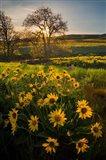 Arrowleaf Balsamroot Wildflowers At Columbia Hills State Park Art Print