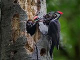 Pileated Woodpecker Aside Nest With Two Begging Chicks Art Print