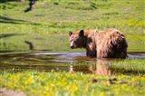 American Black Bear Takes A Cool Bath Near Mystic Lake Art Print