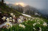 Avalanche Lilies Along A Small Stream Below Plummer Peak Art Print