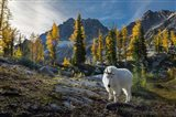 Adult, Male Mountain Goat Art Print
